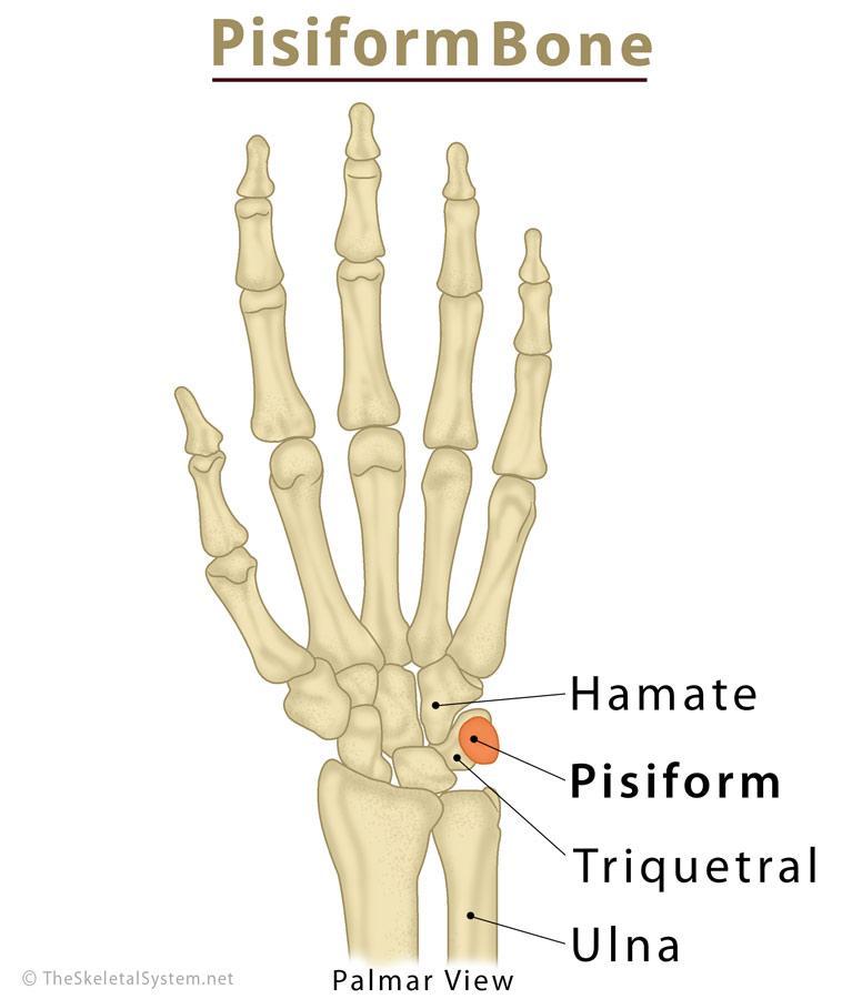 Pisiform Bone Definition, Location, Anatomy, Functions, & Diagram ...