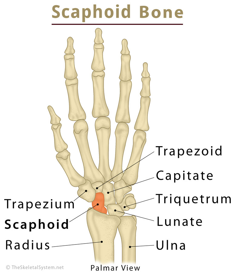 Scaphoid Bone Definition, Location, Anatomy, Diagram   The Skeletal ...