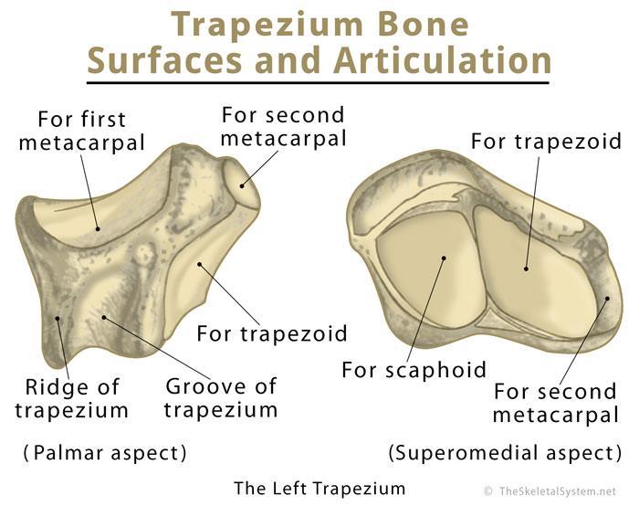 Trapezium Bone Definition, Location, Anatomy, Diagram | The Skeletal ...
