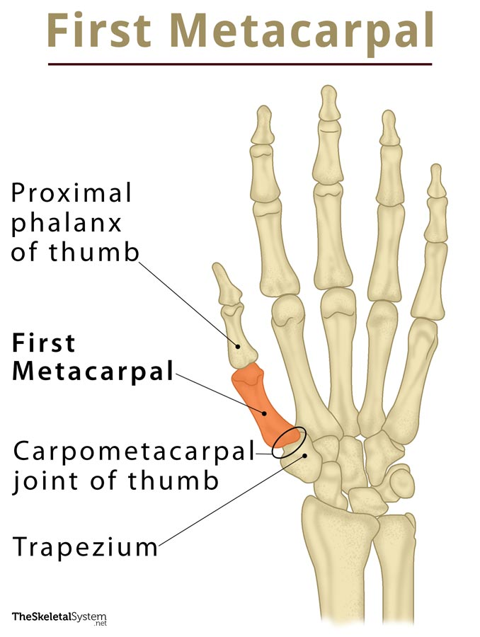 First Metacarpal: Definition, Location Anatomy, Diagram | The ...
