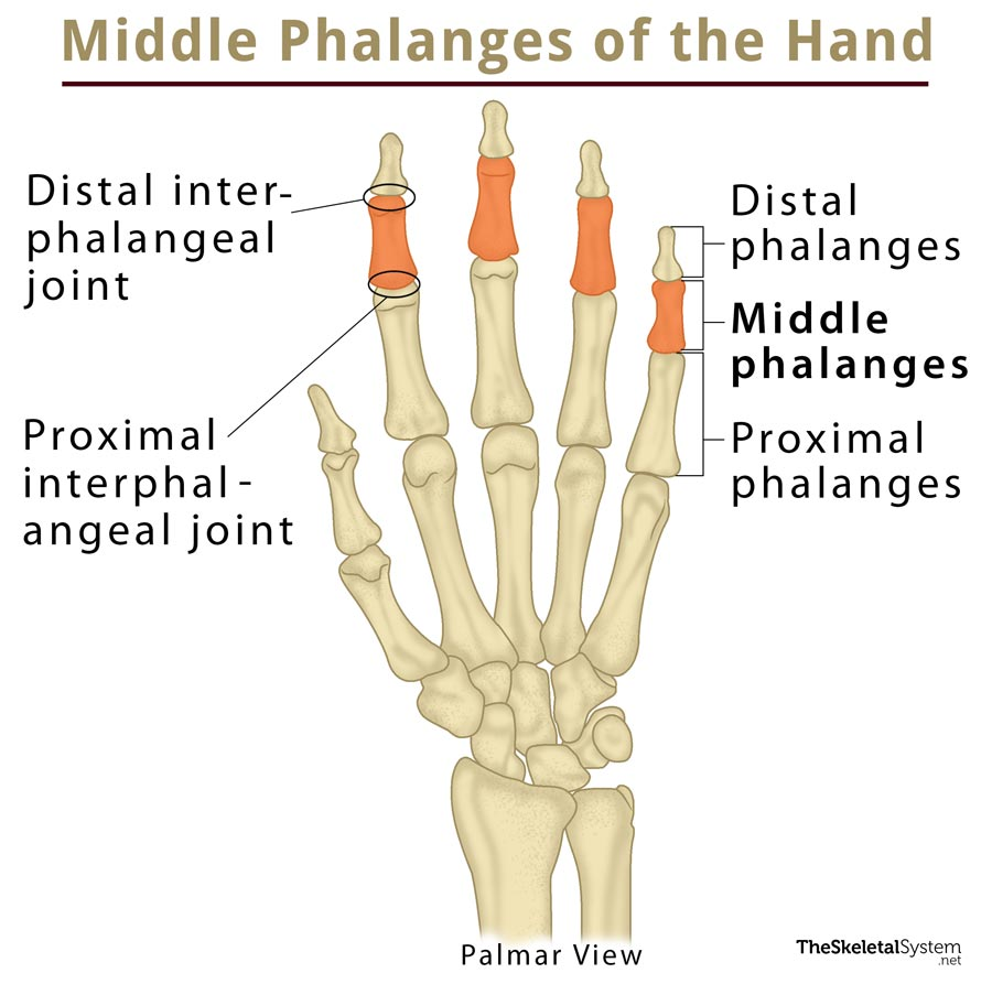 Middle Phalanx: Definition, Location, Anatomy, Diagram | The ...