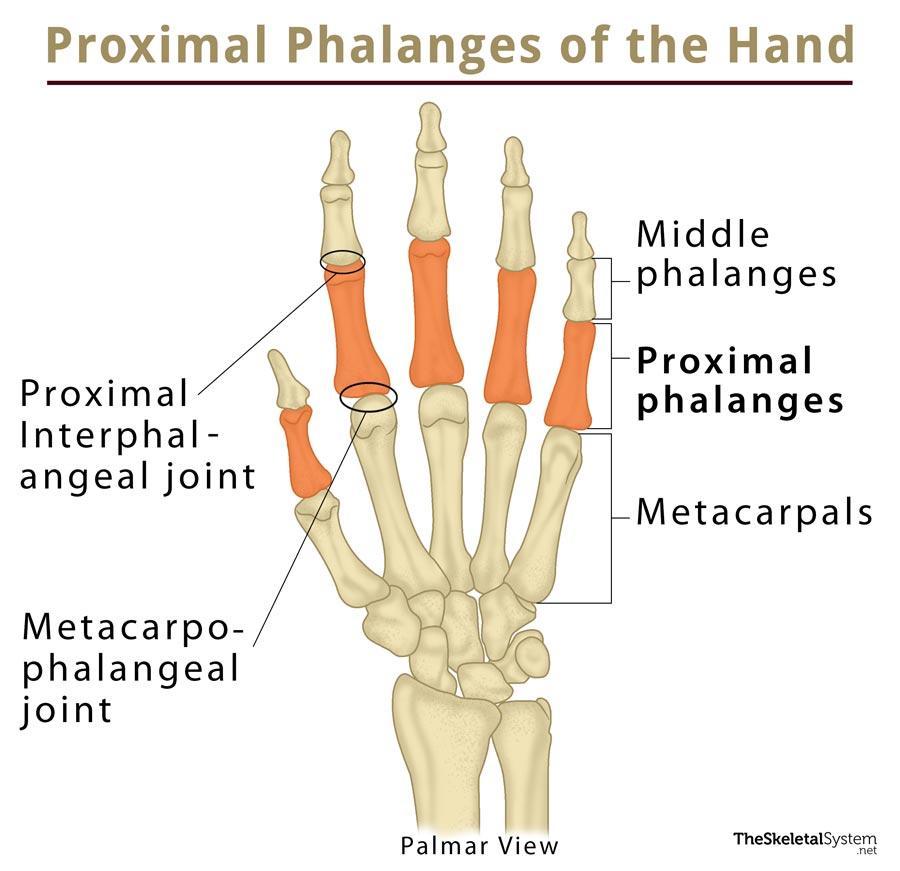 Proximal Phalanx: Definition, Location, Anatomy, Diagram | The ...