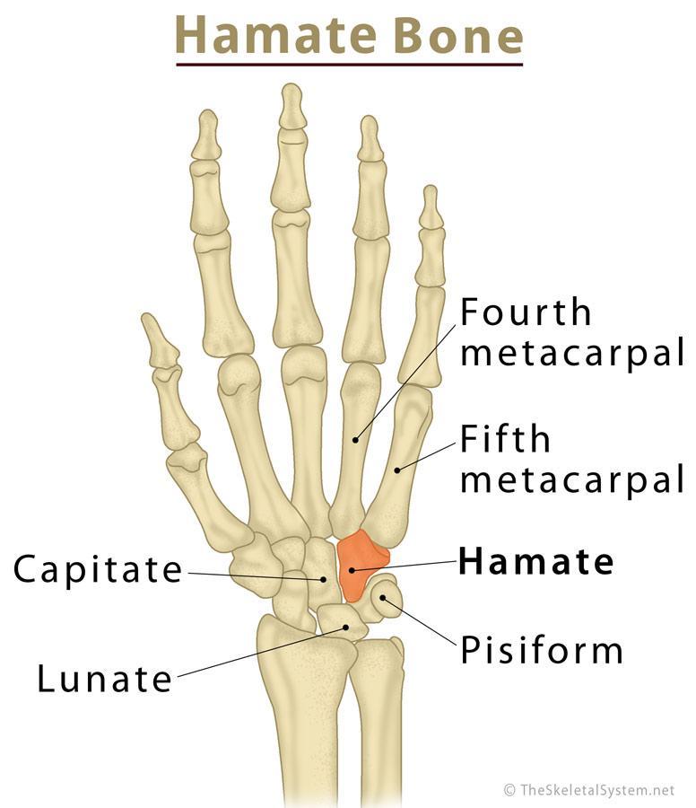 ulna diagram hamate bone definition location anatomy function