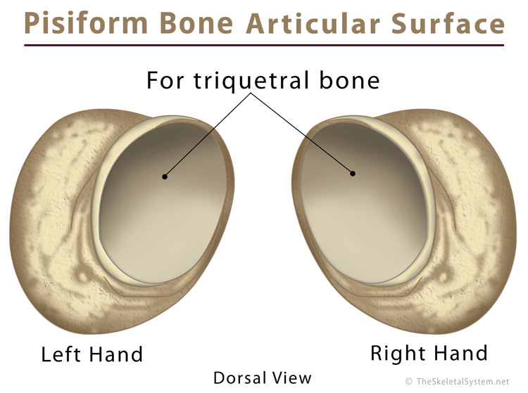 hand bones diagram pisiform bone definition  location  anatomy  functions bones in hand diagram pisiform bone definition  location  anatomy  functions