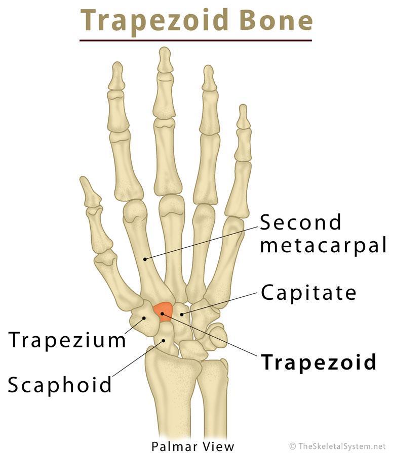 Trapezoid Bone Definition  Location  Anatomy  Diagram