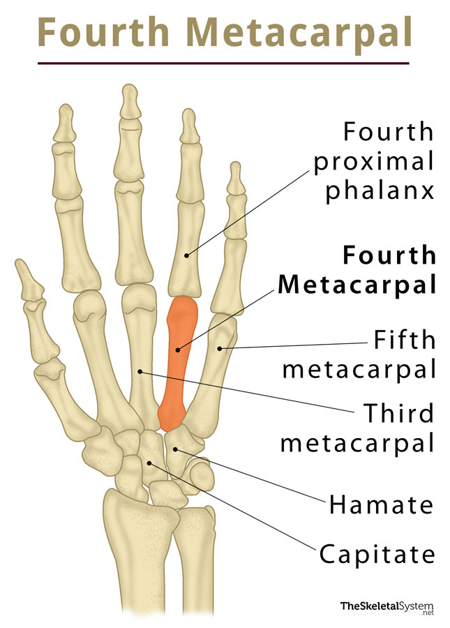 Fourth Metacarpal Definition Location Anatomy Diagram The