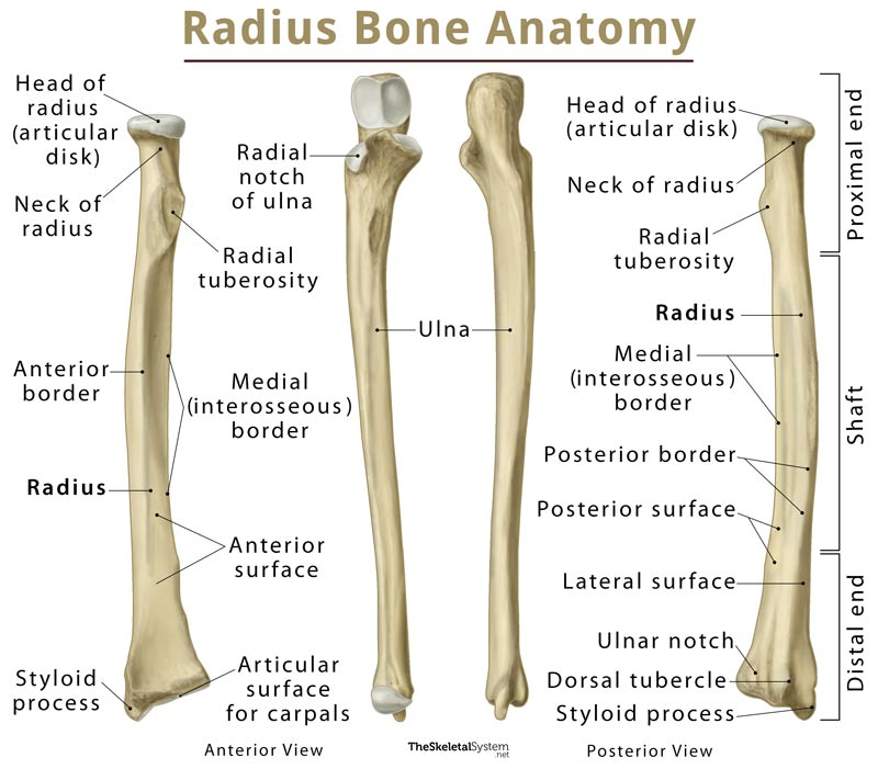 radius: definition, location, functions, anatomy, diagram diagram of the lungs labeled #10